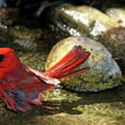 Red Cardinal Bathing Art Print