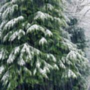 Red Cedar And Snow Art Print