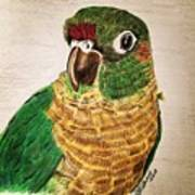 Green Cheeked Conure Art Print