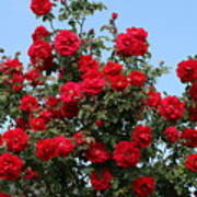 Red Climbing Roses Art Print