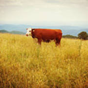 Red Cow On The Blue Ridge Art Print