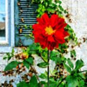 Red Dahlia By Window Art Print