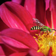 Red Dahlia With Wasp Art Print