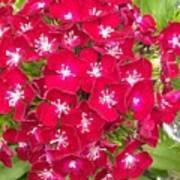 Red Dianthus Art Print