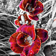 Red Double Lily Art Print