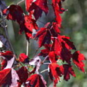 Red Fall Leaves In The Sun Art Print
