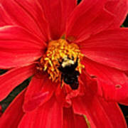 Red Flower And Bee Art Print