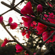 Red Flowers At Sunset Art Print