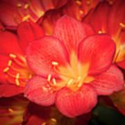 Multiple Red Flowers In Bloom Art Print