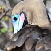 Red Footed Booby Art Print