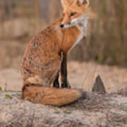 Red Fox In Pose Art Print