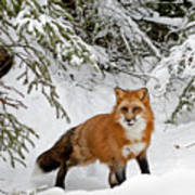 Red Fox In Winter Art Print