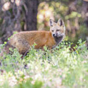 Red Fox Kit Looking For Mom Art Print