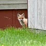 Red Fox Kit Peaking Around Old Barn Art Print