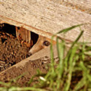 Red Fox Kit Peaking Out From Den Under Old Granary Art Print