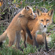 Red Fox Mama's Love Bite Art Print