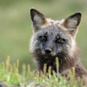 Red Fox Morph Art Print