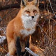 Red Fox Pausing Atop Log Art Print by Max Allen