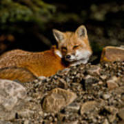 Red Fox Pictures 126 Art Print