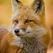 Red Fox Pictures 131 Art Print