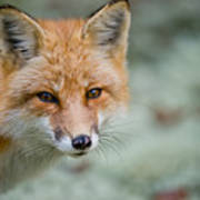 Red Fox Pictures 146 Art Print