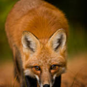 Red Fox Pictures 161 Art Print