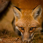 Red Fox Pictures 162 Art Print