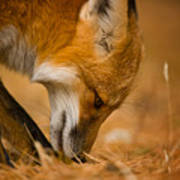 Red Fox Pictures 164 Art Print