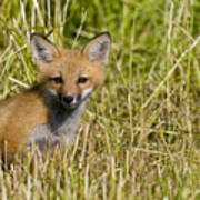 Red Fox Pictures 19 Art Print