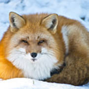 Red Fox Pictures 98 Art Print