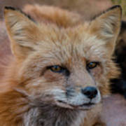 Red Fox Portrait 2 Art Print