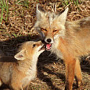 Red Fox Vixen With Pup On Hecla Island In Manitoba Art Print
