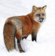 Red Fox Winter Art Print