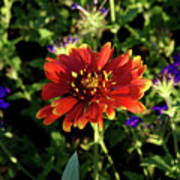 Red Gaillardia Art Print by Douglas Barnett