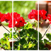 Red Geraniums Triptych Art Print