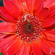 Red Gerber Daisy Art Print