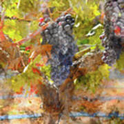 Red Grapes On The Vine During The Fall Season Art Print
