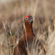 Red Grouse Calling Art Print
