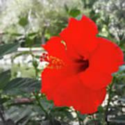 Red Gumamela  Art Print