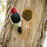 Red-headed Woodpecker At Home Art Print