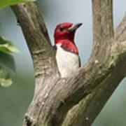 Red-headed Woodpecker Art Print