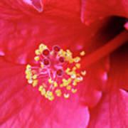 Red Hibiscus 3 Art Print