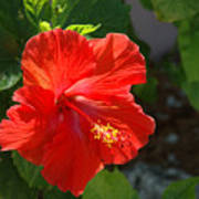 Red Hibiscus II Art Print