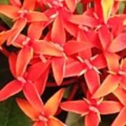 Red Indian Flowers Like Sunshine - Macro Photography Art Print