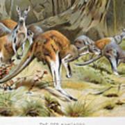 Red Kangaroo Art Print