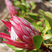 Red King Protea Bud Art Print
