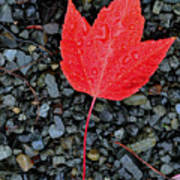 Red Leaf Almost Alone Art Print