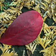 Red Leaf On  Arborvitae Leaves Art Print