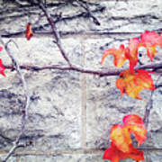 Red Leaves Growing By The Wall. Autumn Art Print