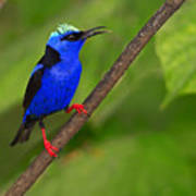 Red-legged Honeycreeper Art Print